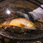 Tiger Trout 2008